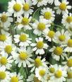 German chamomile, herb, what is chamomile, what is german chamomile